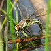 Hairy Dragonfly Female Clamerkin NT IOW