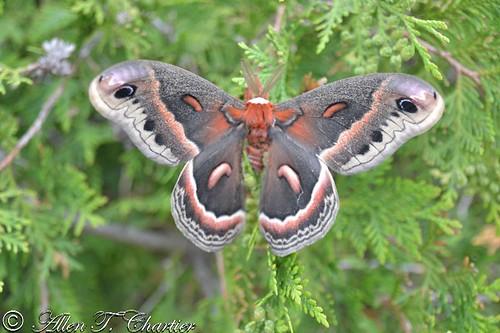 Hyalophora cecropia (Cecropia Moth)