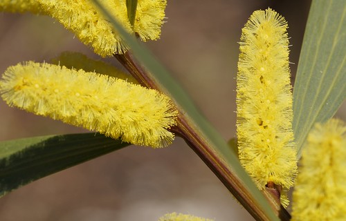 Acacia longifolia 33111099836_3231258123