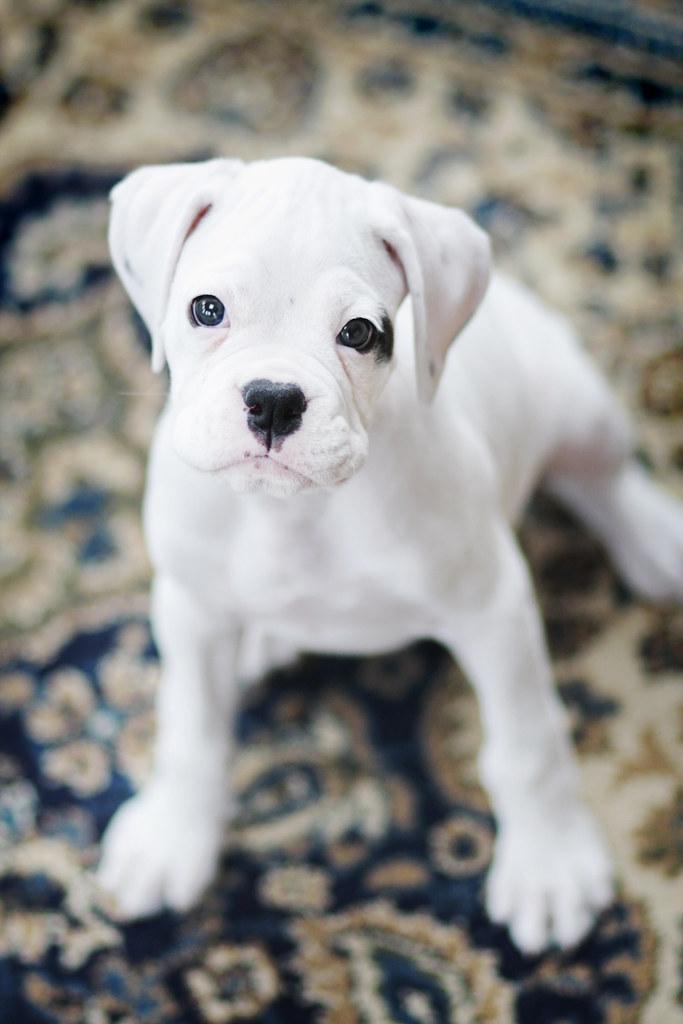 .kolsey.   8 week old white boxer puppy....so cute ...