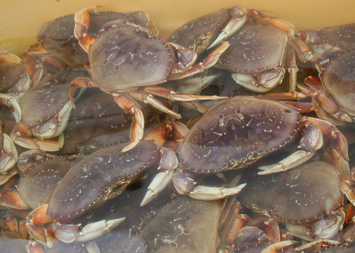5247 dungeness munsel odfw dungeness crab for sale on for Oregon department of fish and wildlife jobs