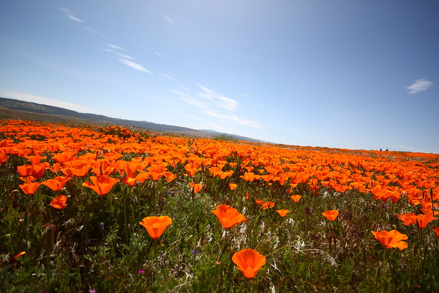 Antelope Valley Poppy Reserve 41 Cdawg913 Flickr