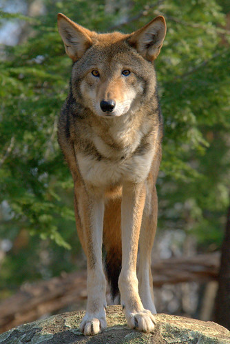 a history of the species canis rufus also knows as red wolf Of endangered species and the first life-history and ecological red wolf (canis rufus) and of extinction also led to the founding.