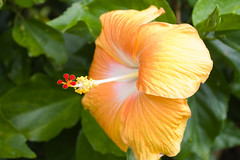Hibiscus | by worldbeyond
