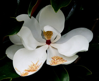 Magnolia | by edithbruck