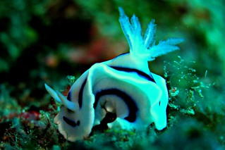 Chromodoris lochi | by divemecressi