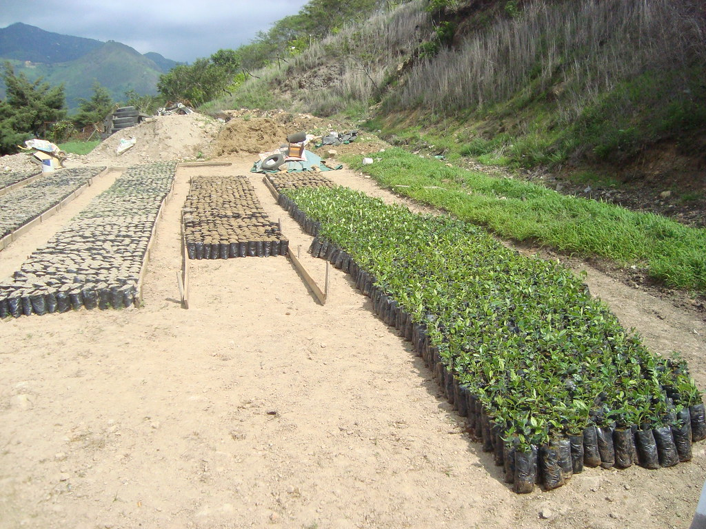 Cadena del caf vivero de plantas se est for Vivero de cafe pdf