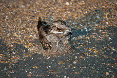 European Nightjar, Shingwedzi, KNP, Feb 2010 | by roelofvdb