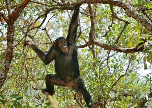 Swinging Chimp   Chimp wild - swinging in Gombe, Tanzania. T ... Chimpanzee Jane