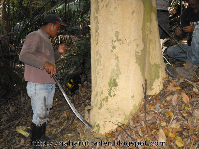 Pokok Gaharu Hutan Pokok Gaharu Hutan 01 | by