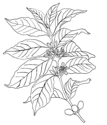 Coffee Plant Illustration Michael Eaton Flickr
