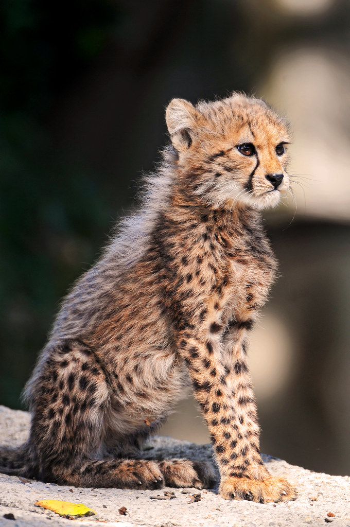 Watching Mom Once Again One Of The Cute Cheetahs