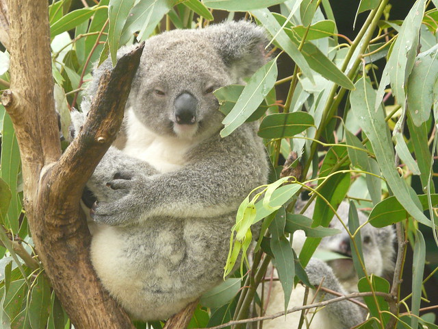 Stoned Koala | Flickr - Photo Sharing!