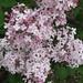 Syringa vulgaris 'Dr. W. Bugala'