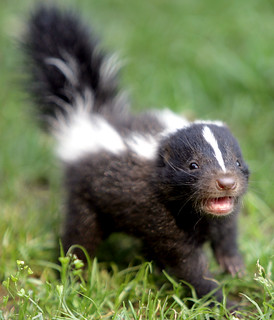 Baby skunk | by floridapfe