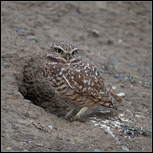 Burrowing owl habitat map - photo#19