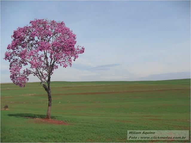 Ipê Roxo do Grande - Handroanthus impetiginosa - Árvore