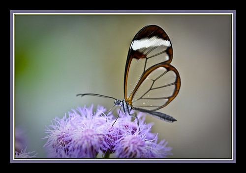 Glasswing Butterfly(Greta Oto) | by davolly59 catching up soon, busy busy