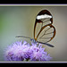 Glasswing Butterfly(Greta Oto)