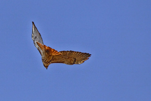 Red Tailed Hawk | by beccafromportland