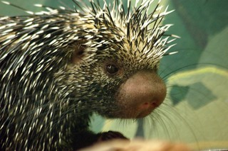 Prehensile-tailed porcupine | by Carly & Art