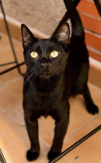 Selva, gatita Pantera guapa, estilizada y divertida esterilizada, nacida en Mayo´16, en adopción. Valencia. ADOPTADA. 32605827300_f129086dc1_z