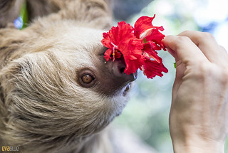 Hoffmann's two-toed sloth Gamboa Wildlife Rescue pandemonio 2017 - 29 | by Eva Blue