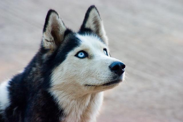 Husky Dog Breed Care