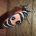 panama-buttefly-mariposa-1