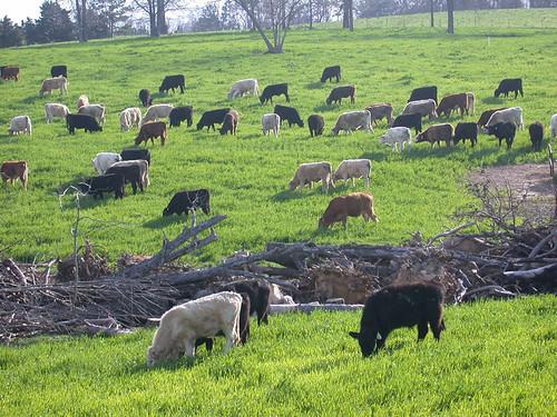 Calves-Spring Grazing