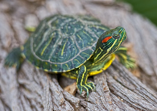 Red-Eared Slider | by SCHMEGGA