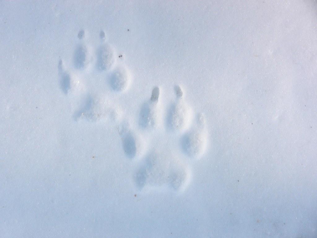 Empreinte de loups bien dessin e peupleloup flickr - Cuisiner vesse de loup ...
