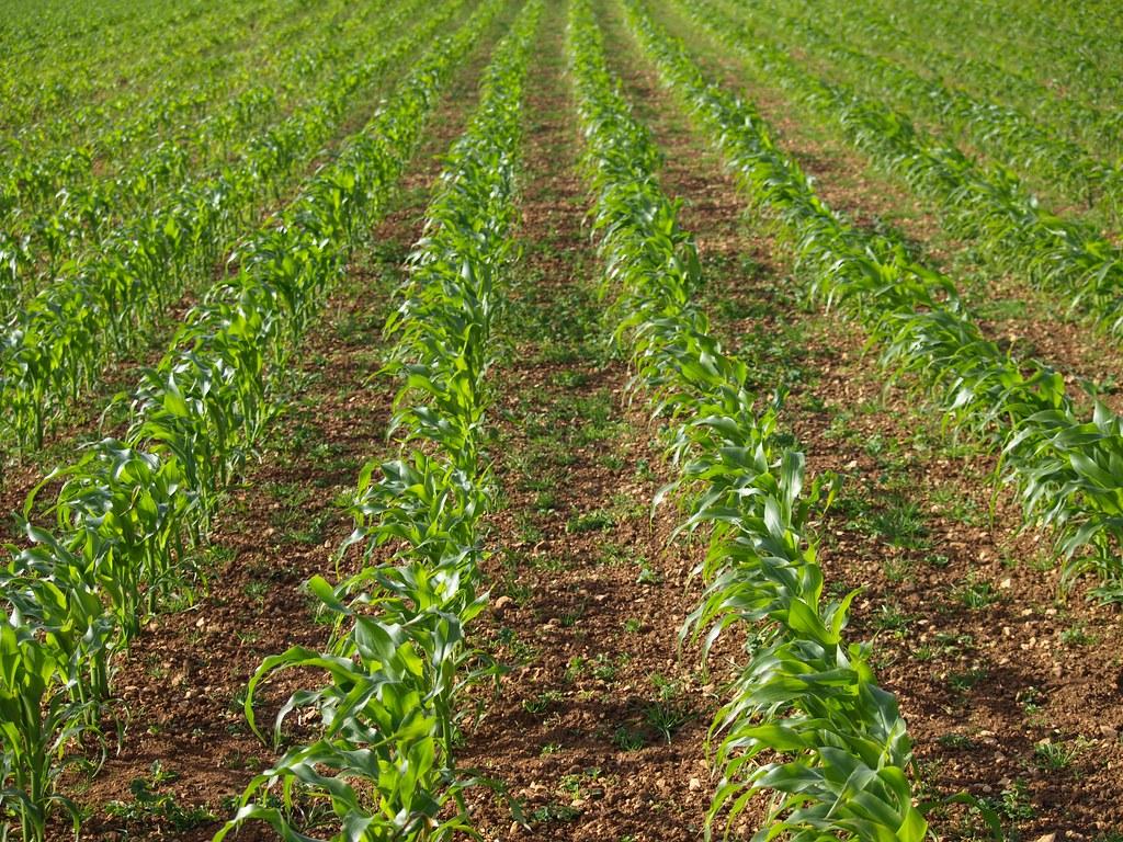 Crop Plantation   matthewwilliams-ellis.com   Flickr