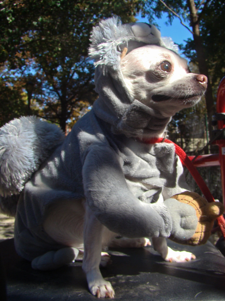 squirrel dog | by istolethetv squirrel dog | by istolethetv & squirrel dog | Dog in a squirrel costume 19th Annual Tompkiu2026 | Flickr
