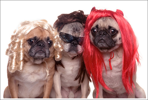 Pugs in Wigs | by [Christine]