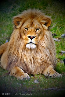 Lion (HDR) | by Phil_LeCren
