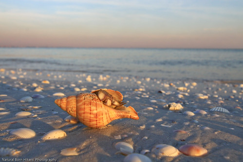 Sanibel Shells | by natural born hikers