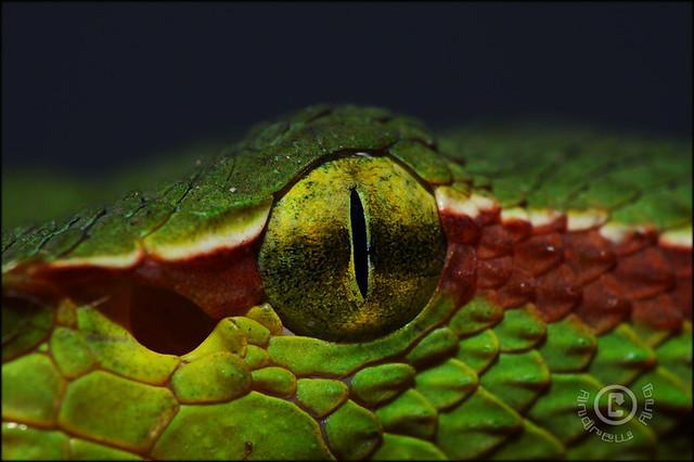 Wagler's pit viper | Tropidolaemus wagleri is a venomous ...