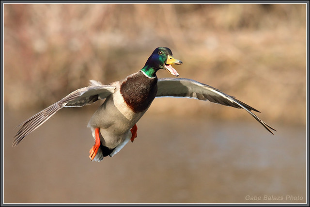 how to cook mallard duck