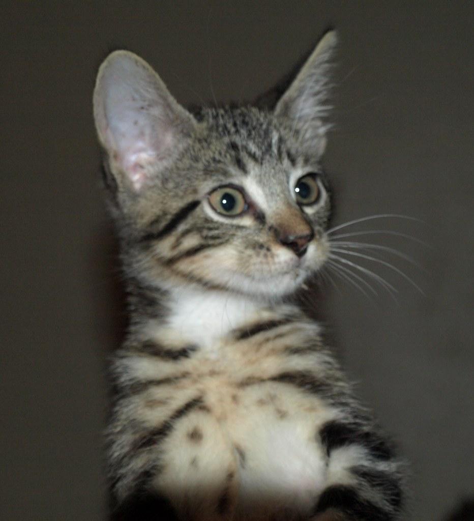 Gray tiger striped kittens
