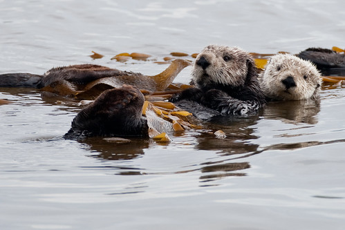 2 of 4 Sea Otter (Enhydra lutris) (marine mammal) Mother with Pup | by mikebaird