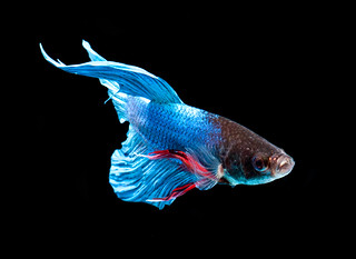 My son named him peanut butter-  Betta - fighting fish | by Okinawa Nature Photography