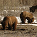 grizzly bears grubbing