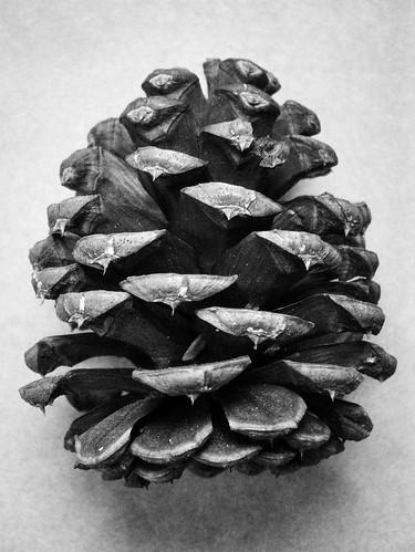 Ponderosa Pine Cone Judy Flickr