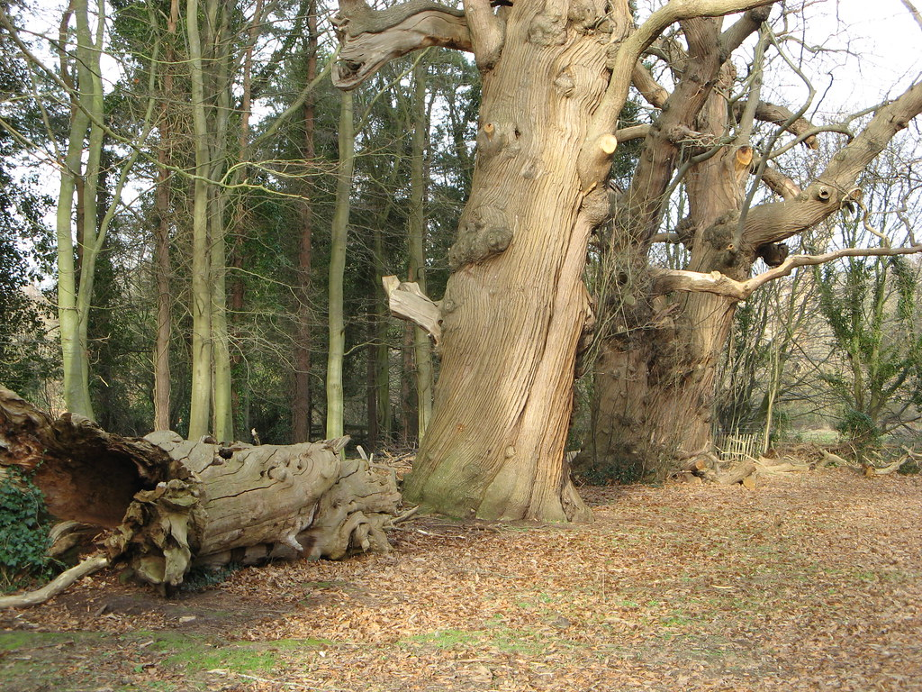 old sweet chestnut trees