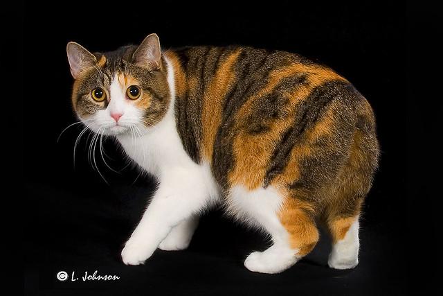 Мэнкс, фото кошки фотография породы кошек манкс