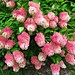 Hydrangea Bushes (3)