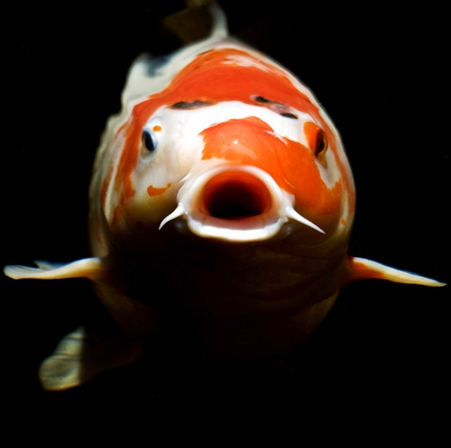 20080622_Honor_Koi_1675 copy | by simonm1701