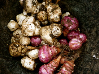 Jerusalem Artichokes | by allispossible.org.uk
