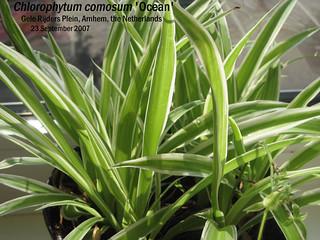 chlorophytum comosum 39 ocean 39 gele rijders plein arnhem flickr. Black Bedroom Furniture Sets. Home Design Ideas